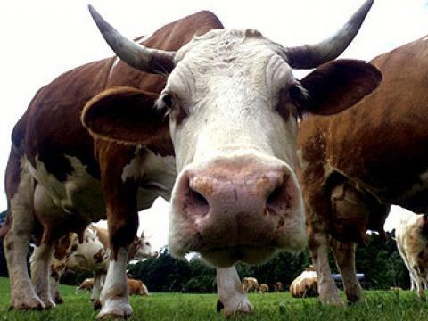 В две села избиха добитъка заради шап – едно наистина опасно и мъчително за хора и животни заболяване.
